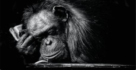sleeping_chimpanzee_micro